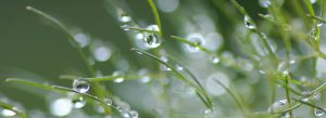 Vattendroppar på grässtrån