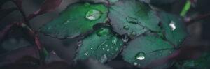 vattendroppar på blomblad